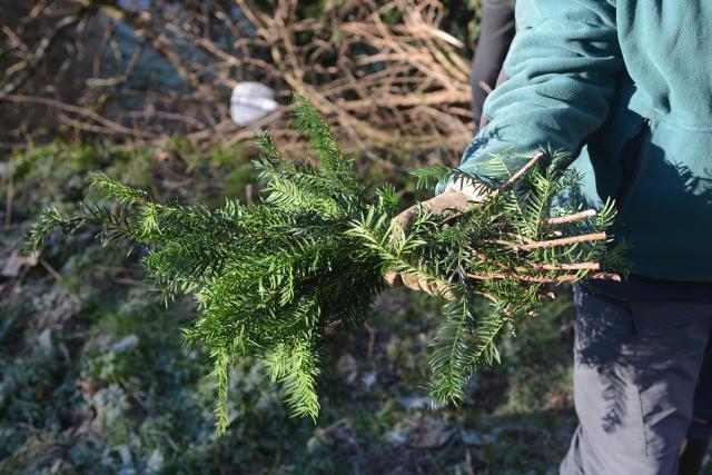IBADER - Recogida de material forestal de reproducción para multiplicación mediante estaquilla
